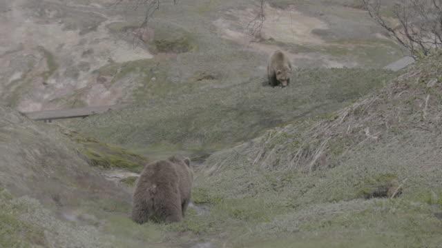 vídeos y material grabado en eventos de stock de brown bears eating grass in valley of geysers, kamchatka, russia - oreja animal