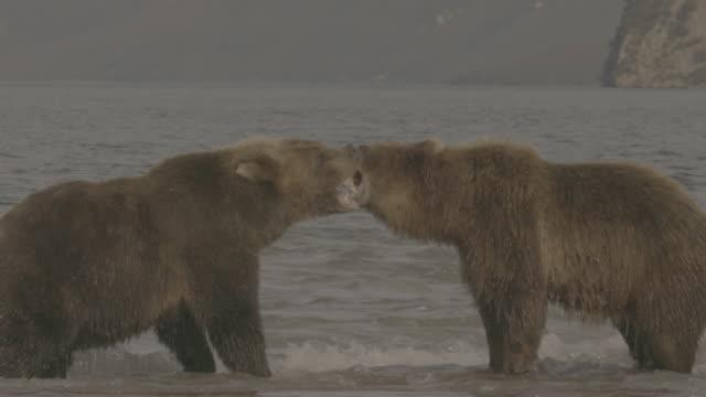 vídeos de stock, filmes e b-roll de brown bears fighting for hunting territories, kurile lake, kamchatka, russia - posição de combate