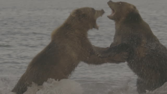 brown bears fighting for hunting territories, kurile lake, kamchatka, russia - 対決点の映像素材/bロール