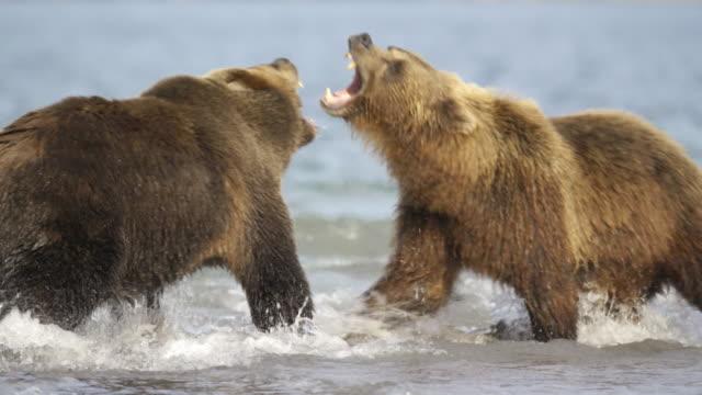 brown bears fighting over an area, kamchatka russia - braunbär stock-videos und b-roll-filmmaterial