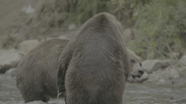 vídeos de stock, filmes e b-roll de brown bears having confrontation in kurile lake - posição de combate