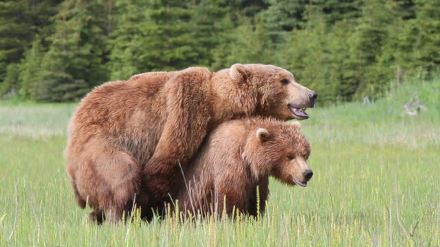 vídeos de stock, filmes e b-roll de brown (grizzly) bears mating, lake clark national park, alaska. - acasalamento de animais