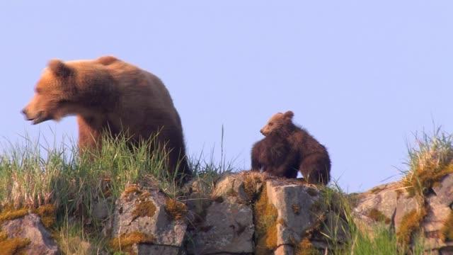 brown bears of katmai, alaska - animal family stock videos & royalty-free footage