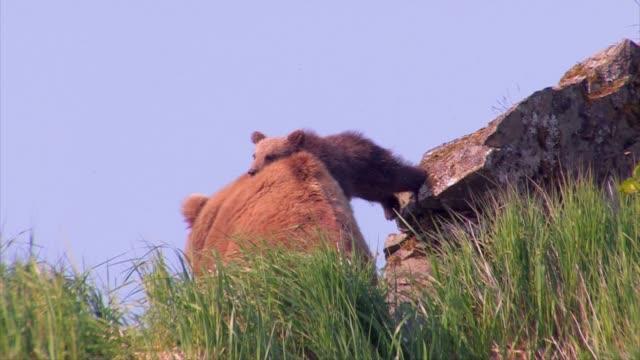 vídeos de stock, filmes e b-roll de brown bears of katmai, alaska - animals in the wild