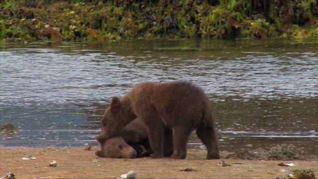 brown bears of katmai, alaska - bärenjunges stock-videos und b-roll-filmmaterial