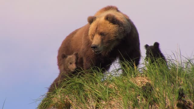 brown bears of katmai, alaska - クマ点の映像素材/bロール
