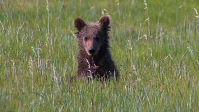brown bears of katmai, alaska - cub stock videos & royalty-free footage