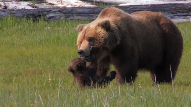 brown bears of katmai, alaska - animal family stock videos & royalty-free footage