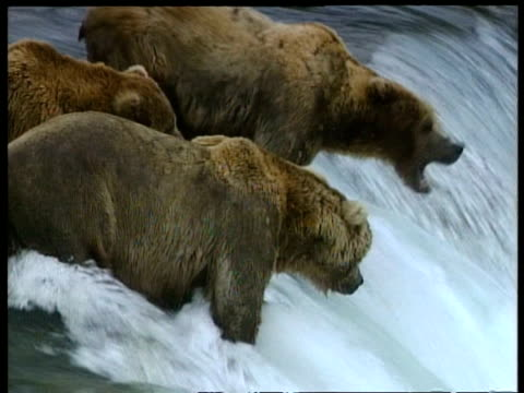 MCU 3 Brown Bears standing at top of rapids, 1 catches leaping salmon, Arctic circle