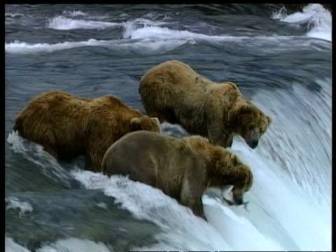 vídeos y material grabado en eventos de stock de brown bears, ursus arctos, standing at top of rapids, catching salmon, edited sequence, arctic circle - oso pardo