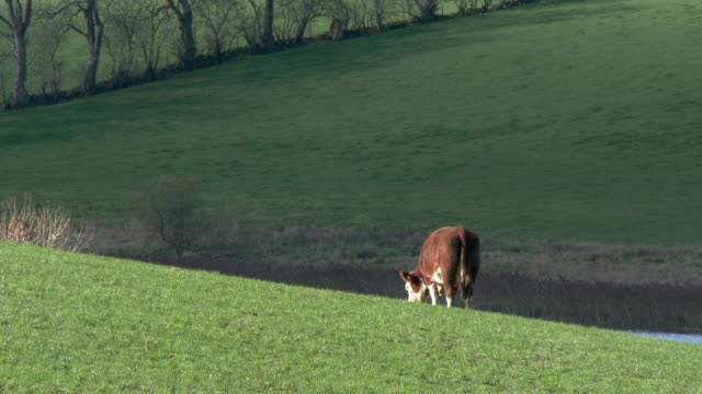 Brown beef cattle in a field in Dumfries and Galloway
