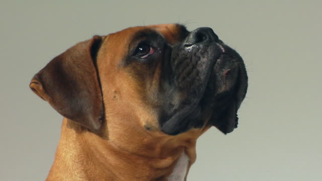 cu brown boxer dog looking up / boston, massachusetts, usa - boxer dog stock videos and b-roll footage