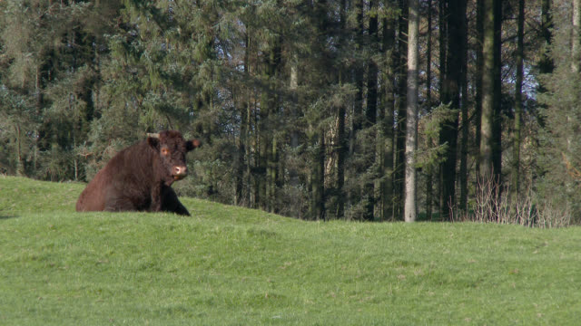 brown bull lying in a field - johnfscott stock videos & royalty-free footage