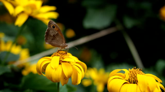 Brown butterfly drinking nectar from the yellow flower