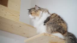 Brown calico persian cat on wooden shelf licking lip. cat wooden wall house box. cat feeling itchy and scratching.