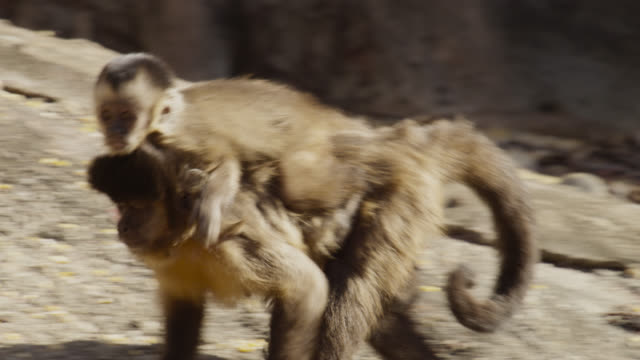 brown capuchin (sapajus apella) baby rides on mother's back. - young animal stock videos & royalty-free footage
