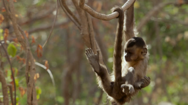brown capuchin (sapajus apella) climbs in tree. - hanging stock videos & royalty-free footage