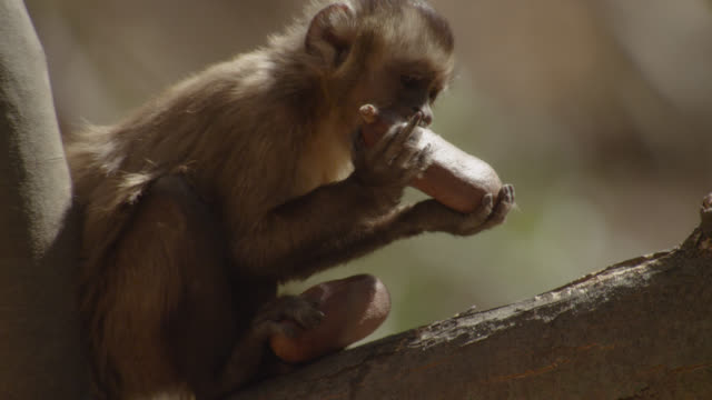 stockvideo's en b-roll-footage met brown capuchin (sapajus apella) cracks open seed pods on branch. - voeren