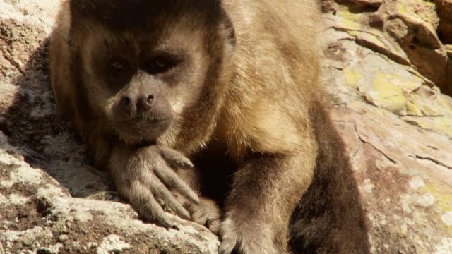 vídeos y material grabado en eventos de stock de brown capuchin (sapajus apella) looks towards camera and twitches eyebrows. - onda irregular