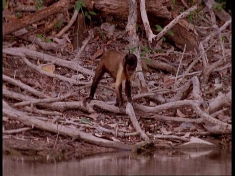 mwa brown capuchin monkey foraging nervously, south america - futter suchen stock-videos und b-roll-filmmaterial