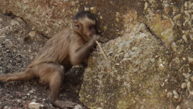brown capuchin (sapajus apella) uses tiny twig to try and lever large chunk of rock away from cliff. - twig stock videos & royalty-free footage
