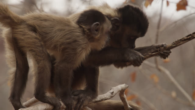 brown capuchins (sapajus apella) feed from rotten twig. - twig stock videos & royalty-free footage