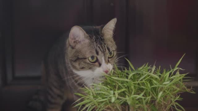 braune katze setzte sich, um bambusblätter in töpfen zu essen - bamboo plant stock-videos und b-roll-filmmaterial