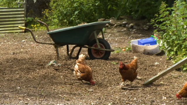 brown chickens in a yard by a wheelbarrow - claw stock videos & royalty-free footage
