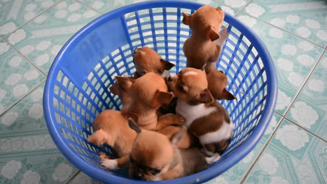 brown chihuahua puppies are climbing out of basket - puppy stock videos & royalty-free footage