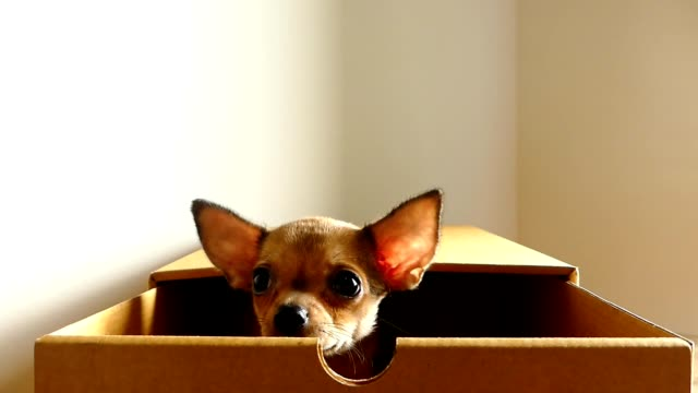 brown chihuahua puppy in a box - fear stock videos & royalty-free footage