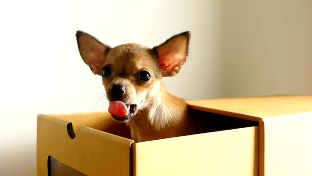 brown chihuahua puppy in a box - chihuahua dog stock videos and b-roll footage
