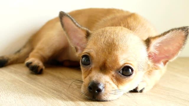 vídeos de stock e filmes b-roll de brown chihuahua puppy lying on the floor - animal hair