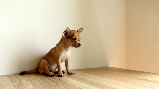 brown chihuahua puppy sitting on the floor - cagnolino da salotto video stock e b–roll