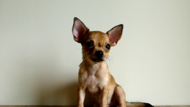 Brown chihuahua puppy sitting on the table