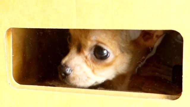 vídeos de stock, filmes e b-roll de filhote de cachorro chihuahua marrom estava preso em uma caixa - medo