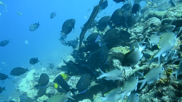 brown chromis aggregation. - aquatic organism stock videos & royalty-free footage