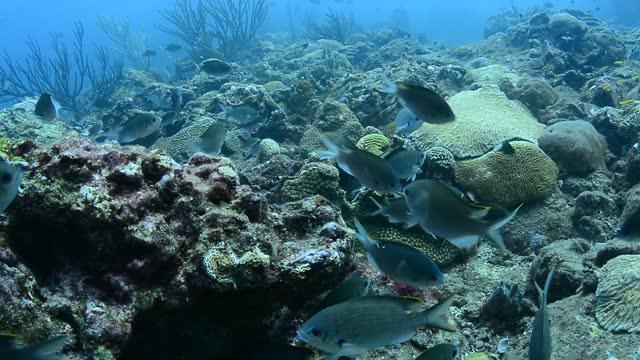 brown chromis aggregation. - dykarperspektiv bildbanksvideor och videomaterial från bakom kulisserna
