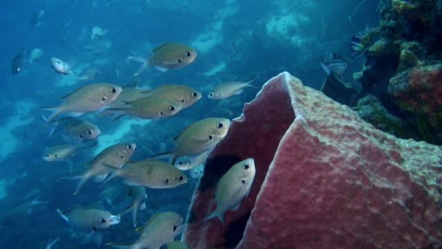Brown chromis shoal