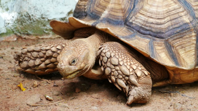 brown color tortoise - tortoise stock videos & royalty-free footage