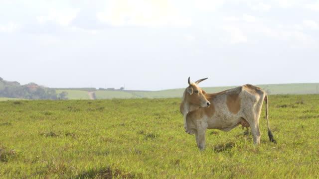 braune kuh weidet auf der weide - pasture stock-videos und b-roll-filmmaterial