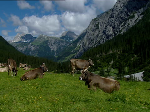 Brown cows in a green alpine meadow with mountains behind Austria