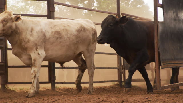 brown cows walking in slow motion - cattle stock videos & royalty-free footage