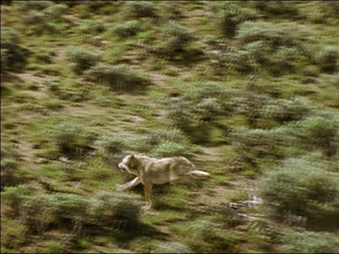 AERIAL, brown coyote running through sagebrush