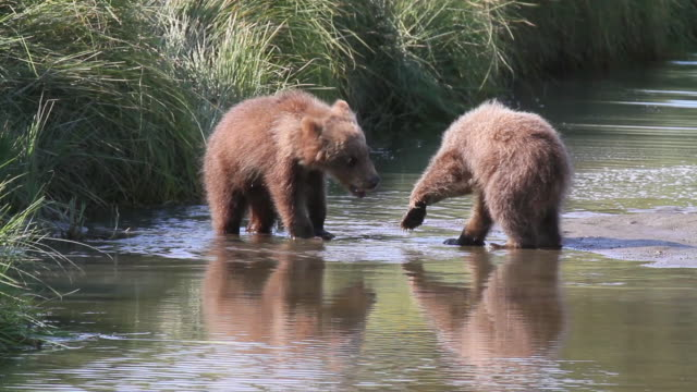brown (grizzly) cubs, lake clark national park, alaska. - bear cub stock videos and b-roll footage