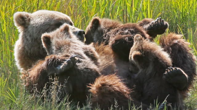 vidéos et rushes de brown (grizzly) cubs nursing, lake clark national park, alaska. - ours brun