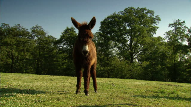 Brown donkey in green meadow walking