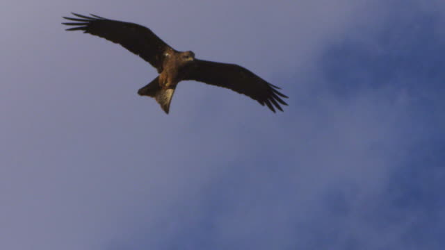 vidéos et rushes de a brown eagle flying on the clouds in slow motion - rapace