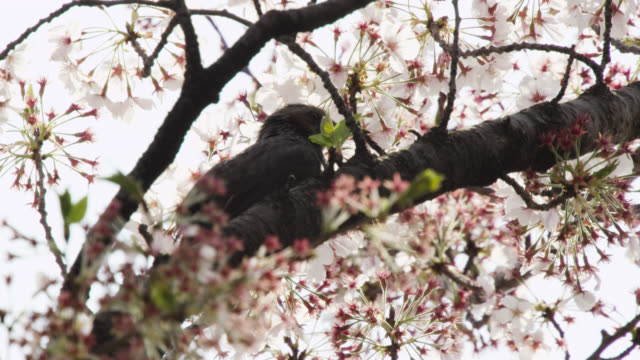 brown eared bulbul (hypsipetes amaurotis) takes off from blossom laden branch. tokyo, japan. - fruit tree stock videos & royalty-free footage