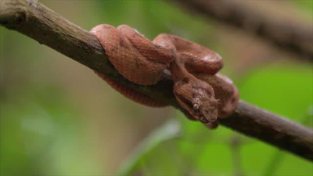 brown eyelash pit viper - ast pflanzenbestandteil stock-videos und b-roll-filmmaterial