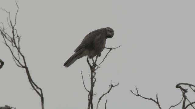 brown falcon looks around in tree, australia. - appollaiarsi video stock e b–roll